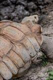 afrikan sporrad sköldpadda Arkivfoto