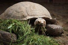 Afrikan sporrad sköldpadda (den Centrochelys sulcataen) Royaltyfria Bilder