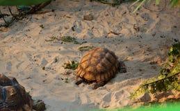 Afrikan sporrad sköldpadda i en terrarium Fotografering för Bildbyråer