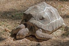 Afrikan sporrad sköldpadda, jätte- sköldpadda Arkivfoton