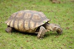 Afrikan sporrad sköldpadda på gräs Royaltyfri Fotografi