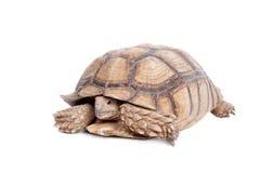 Afrikan sporrad sköldpadda på vit Arkivfoton