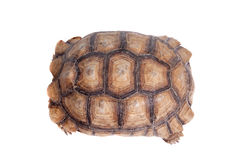 Afrikan sporrad sköldpadda på vit Royaltyfri Fotografi