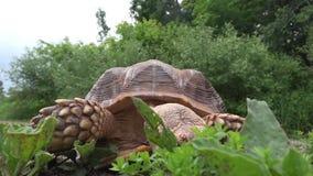 Afrikan sporrad sköldpadda som äter gräs stock video