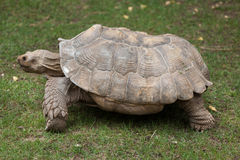 Afrikan sporrad sköldpaddaCentrochelys sulcata Arkivfoton