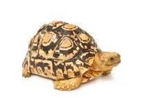 Afrikan sporrad sulcatasköldpadda Arkivfoton