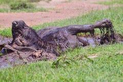 Afrikan & x28; Cape& x29; Buffel som vältra sig i gyttja Royaltyfri Fotografi