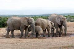 AfrikanBush elefant Familie Royaltyfri Fotografi