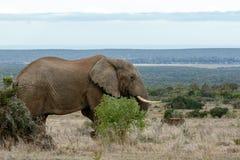 AfrikanBush elefant i det öppna landet Royaltyfri Foto