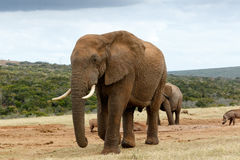 AfrikanBush elefant som ska stängas Arkivbilder