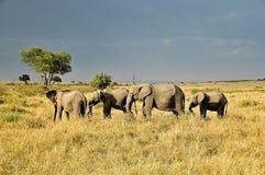 Afrikanelefanter i Kenya, Afrika Arkivbild