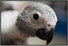 afrikanen behandla som ett barn den gråa papegojan Royaltyfri Fotografi