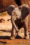 afrikanen behandla som ett barn den skämtsamma elefanten Royaltyfria Bilder