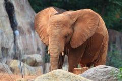 afrikanen behandla som ett barn elefanten Arkivfoton