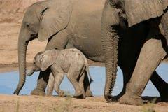 afrikanen behandla som ett barn elefanten Arkivfoto