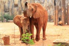 afrikanen behandla som ett barn elefanten henne modern Arkivfoto
