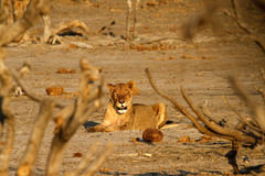 Afrikanen plattar till rovdjuret Royaltyfri Fotografi