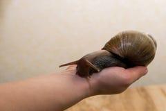 Afrikaner Achatina-Schnecke in der Hand Lizenzfreies Stockbild