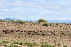Afrikaner Blesbok-Antilope Lizenzfreie Stockbilder