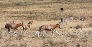 Afrikaner Blesbok-Antilope Stockbilder