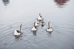 Afrikaner-Brown-Gans | Schönheit von Vögeln lizenzfreie stockfotografie