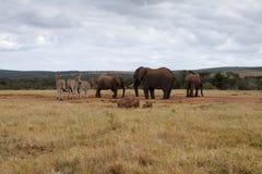 Afrikaner-Bush-Elefant, der die Wasserstelle übernimmt Lizenzfreies Stockfoto