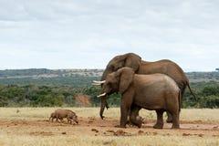 Afrikaner-Bush-Elefanten der großen Brüder Lizenzfreies Stockfoto