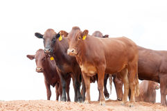 Afrikaner cattle in the Kalahari Stock Photography