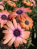 Afrikaner Daisy Flowers mit Wasser-Tröpfchen Lizenzfreie Stockfotos