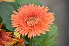 Afrikaner Daisy Orange mit Laub und Blume Lizenzfreie Stockfotografie