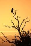 Afrikaner Eagle Lizenzfreies Stockbild