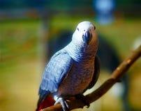 Afrikaner Grey Parrot auf Niederlassung und Grün stockfotografie