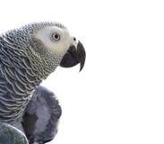 Afrikaner Grey Parrot auf Weiß lizenzfreie stockfotografie
