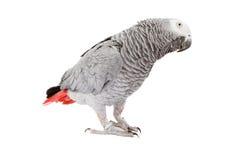 Afrikaner Grey Parrot, das Kopf kippt Lizenzfreies Stockfoto