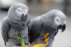 Afrikaner Grey Parrots Lizenzfreie Stockbilder