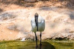 Afrikaner-heiliges IBIS-Vogel Lizenzfreies Stockfoto