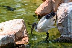 Afrikaner-heiliges IBIS-Vogel Lizenzfreie Stockbilder