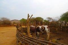 Afrikaner Nguni-Stiere am großen Kral im Zululand, Südafrika Stockbilder