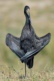 Afrikaner Openbill-Storch lizenzfreie stockbilder