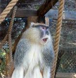 Afrikaner Patas-Affe oder Rot Guenon Stockfotos
