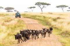 Afrikaner Safari With Wildebeest Crossing Road Stockfoto