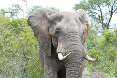 Afrikaner-Stier-Elefant Upclose Stockbilder