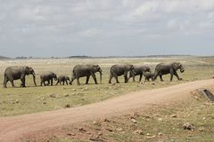 Afrikaner Stier Elelphant Stockfotos