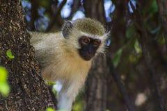 Afrikaner Vivd-Affe, der im Baum sitzt Lizenzfreie Stockfotos