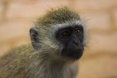 Afrikaner Vivd-Affe im Baum Stockbild