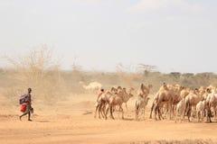 Afrikanerinschäfer vom Samburu-Stamm ein in Verbindung stehender Masaistamm im nationalen Kostüm führt eine Menge von Kamelen lizenzfreie stockfotos