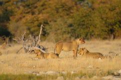 Afrikanerlion group Blick neugierig, etosha nationalpark stockbilder