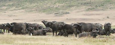 Afrikanisch. Büffel mit Viehreiher Lizenzfreie Stockbilder