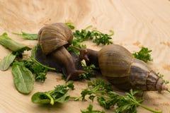 Afrikanische achatina Schnecken isst Grüns zu Hause Stockbilder