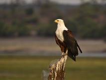 Afrikanische Adler Stockbilder